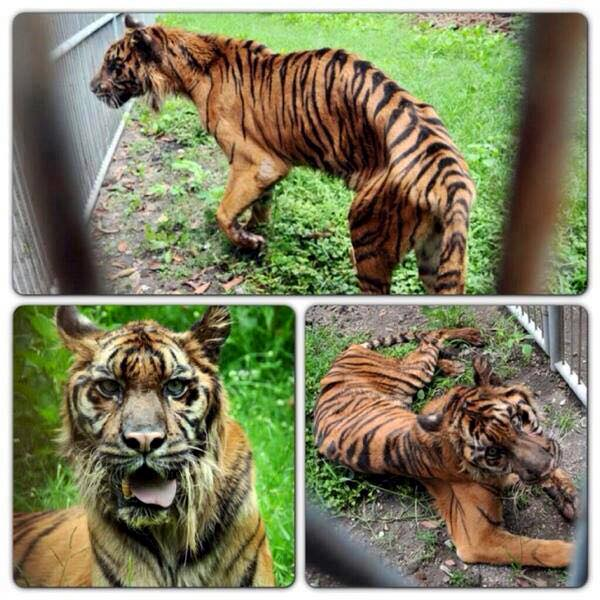 These pictures were taken in Surabaya Zoo, East Java, Indonesia. They are living in hell. They eat plastic just to stay alive. Please share this. Nobody cares but us who speak for the unspoken! The world must know! #WakeUp #WildNeedsUs